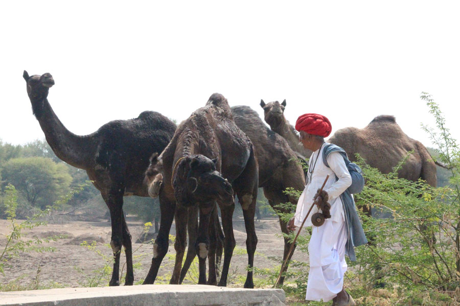 Camels in Rajasthan