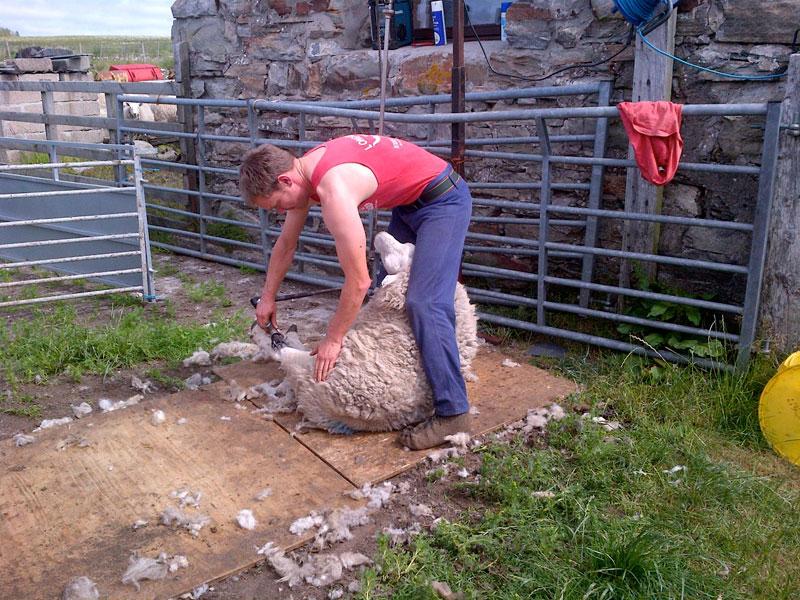 Sheep Shearing - Crask