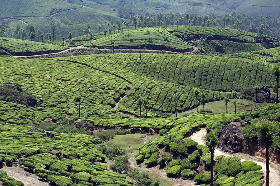 Tea plantations - Kerala