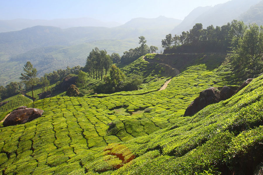 Tea plantations - Munnar